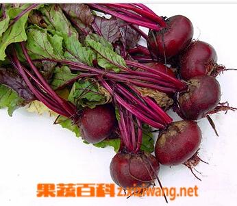 果蔬百科紫菜头